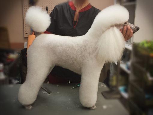 Miniature Poodle Groomed