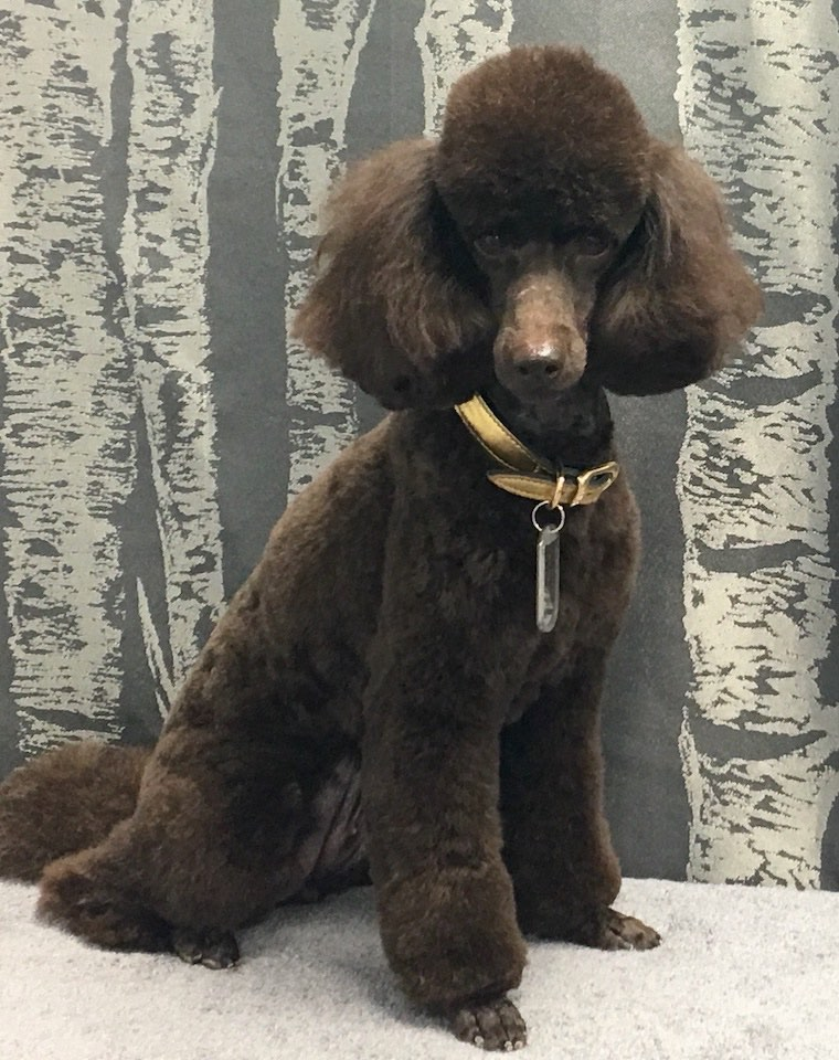 Chocolate Miniature Poodle
