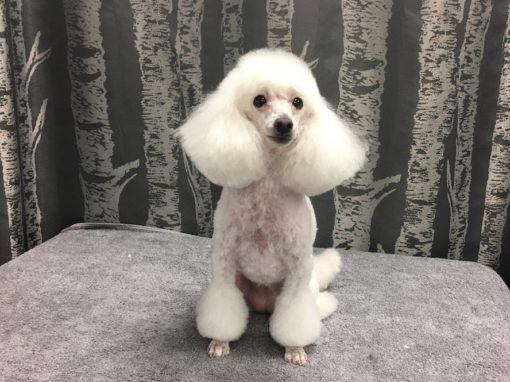 Groomer Toy Poodle