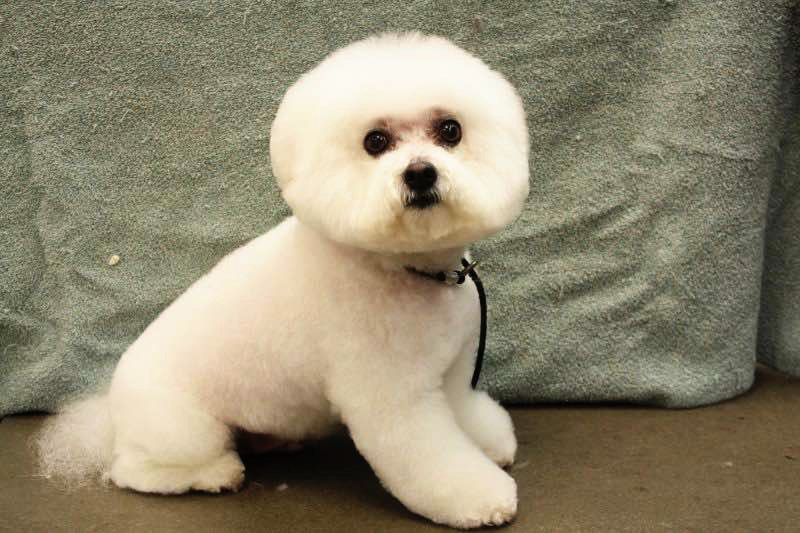Bichon Frise - Florida Dog Grooming