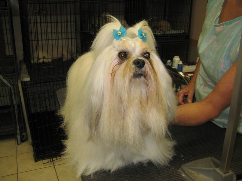 Lhasa Apso - Florida Dog Grooming