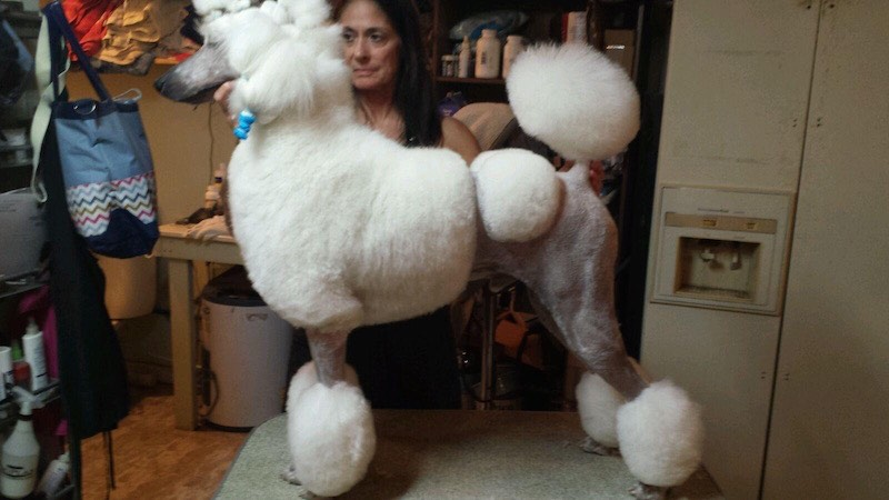 Standard Poodle - Florida Dog Grooming