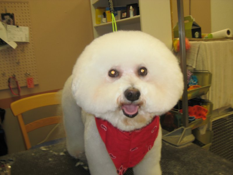 Bichon Frise Groomed