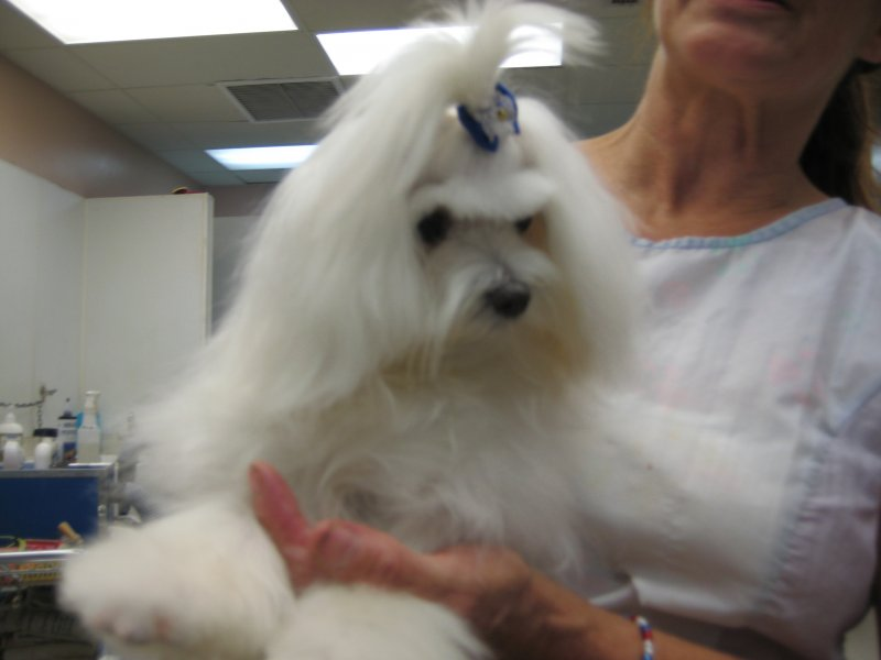 Maltese - Florida Dog Groomers
