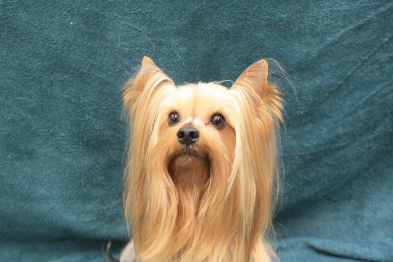 Happy Yorkshire Terrier