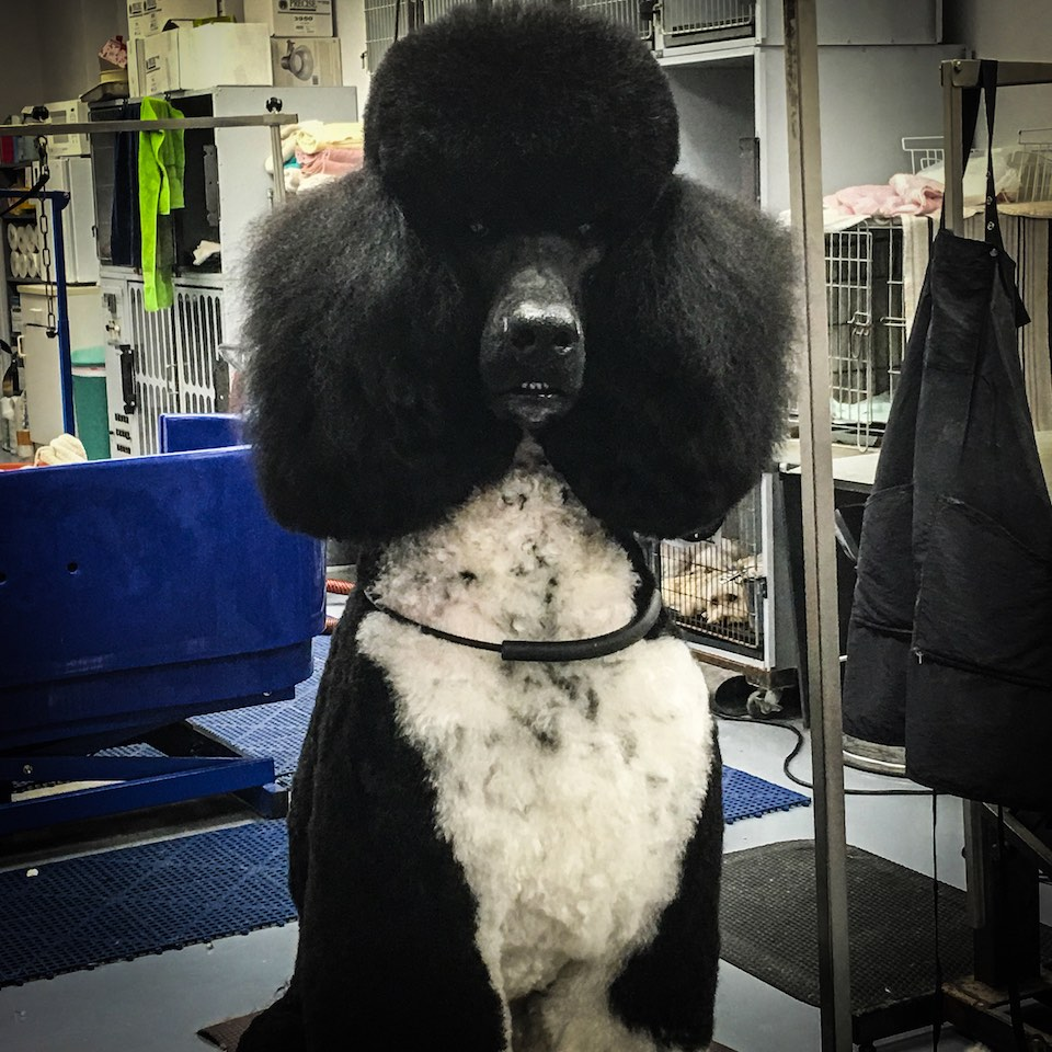 Standard Poodle Groomer Florida Groomers