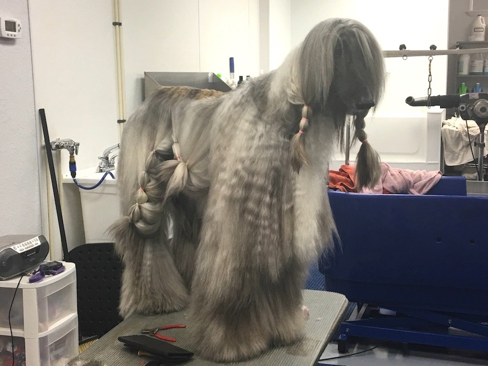 Afghan Hound Dog Groomer