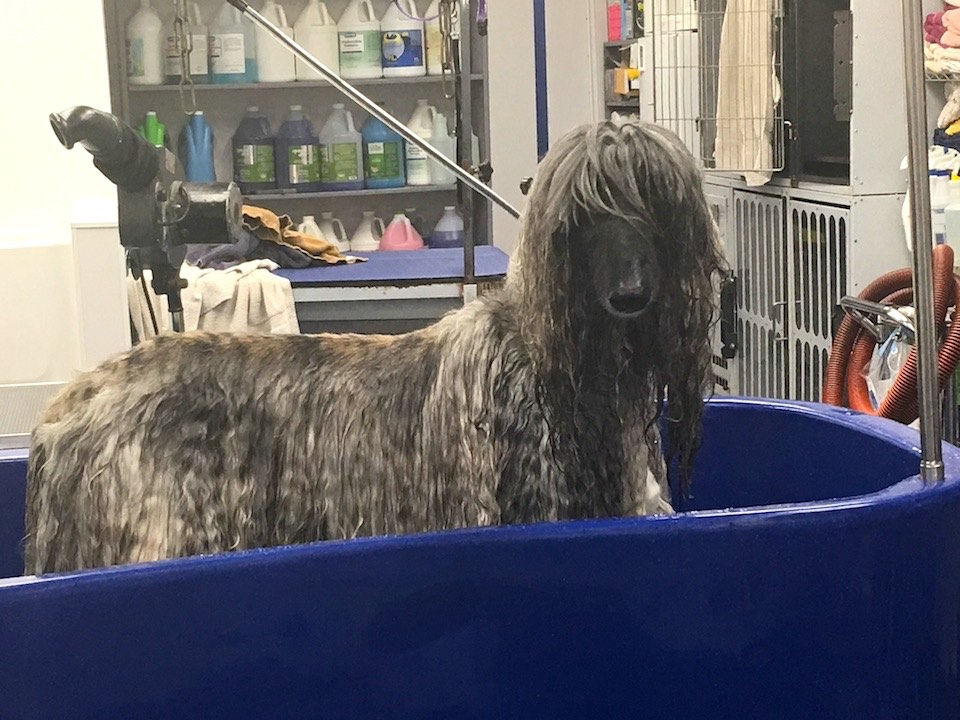 Afghan Hound Orlando Dog Grooming Service