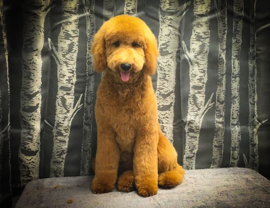 Red Golden Doodle Groomers
