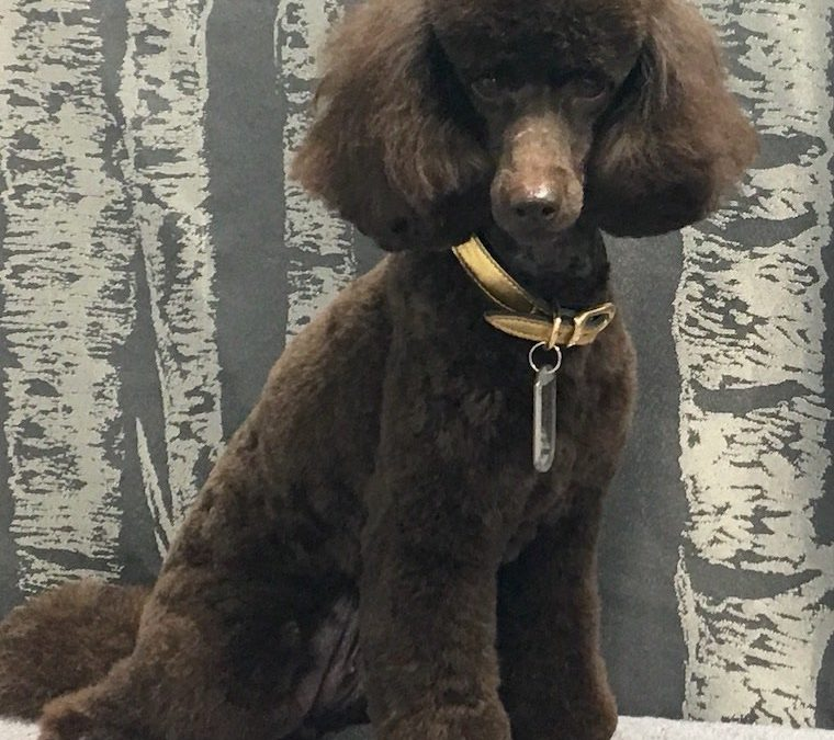 Chocolate Miniature Poodle
