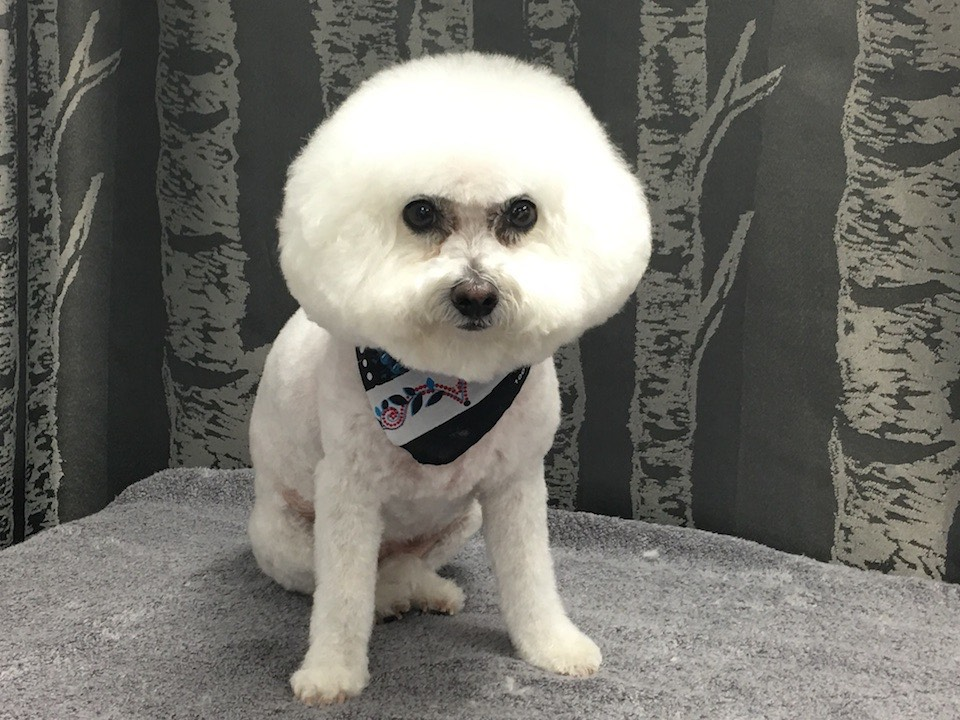 bichon frise wags to riches dog grooming