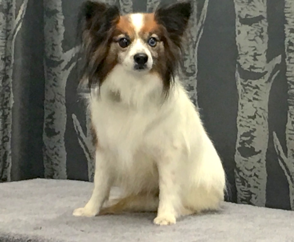 Windermere Dog Groomer Papillon