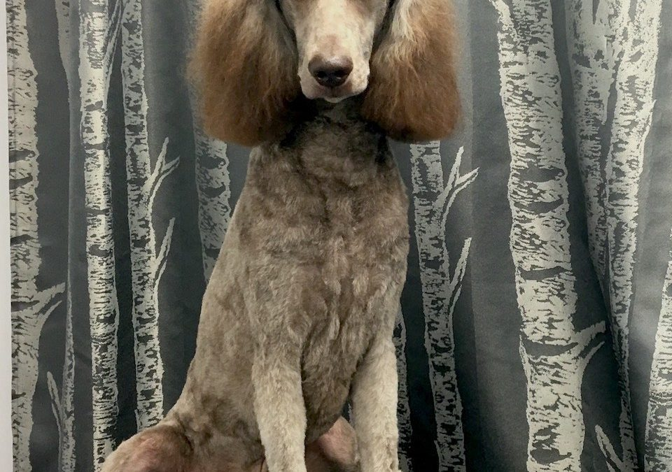 Chocolate Standard Poodle – Cafe Au Lait