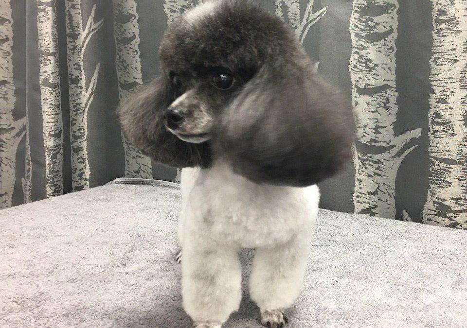 Party Color Toy Poodle