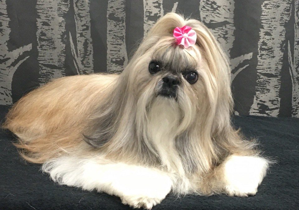 Shih Tzu Archives Wags To Riches Dog Grooming