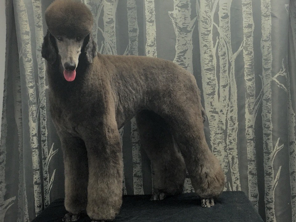 Standard Poodle Grooming