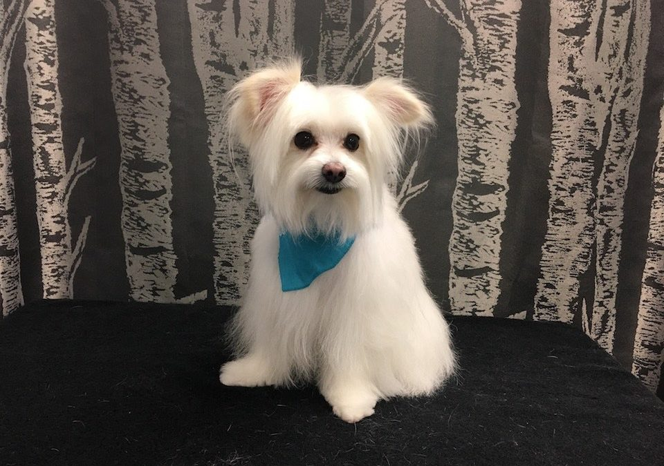 Pomeranian – Poodle