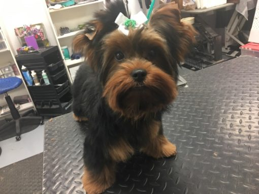Yorkie Groomer Central Florida