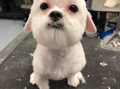 Maltese Dog Groomer