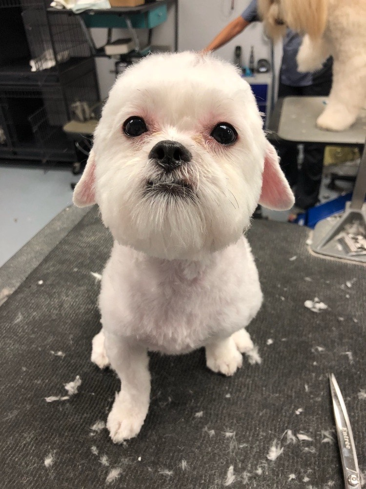 Maltese Mix Dog Grooming