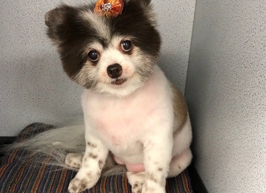 Pomeranian Dog Groomer