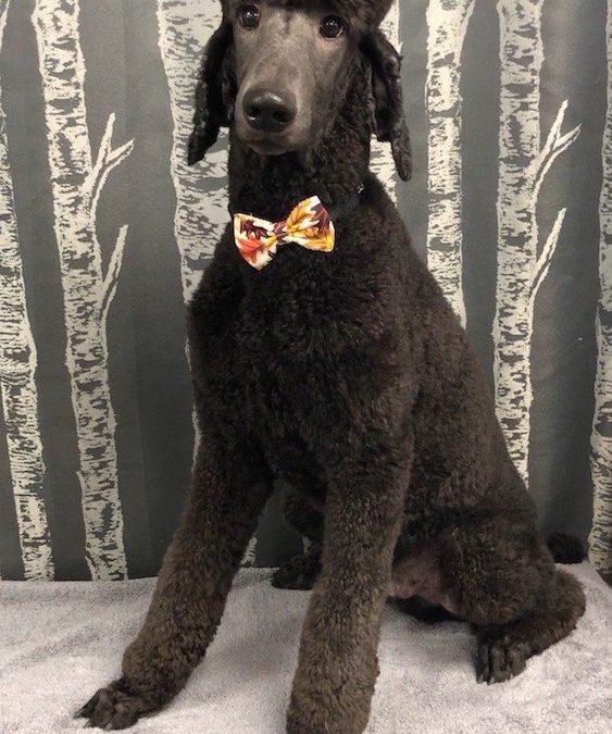 Standard Poodle Groomer
