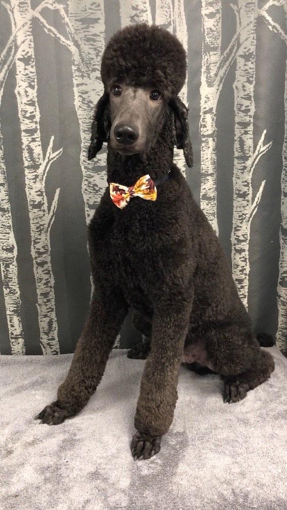 Standard Poodle Dog Grooming