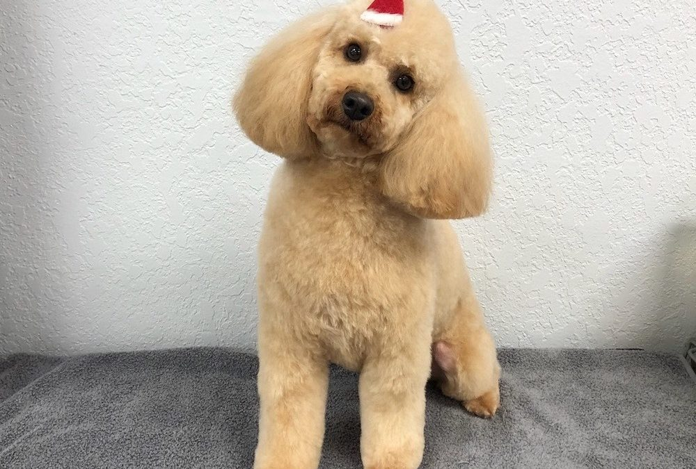 Mini Poodle Dog Groomer