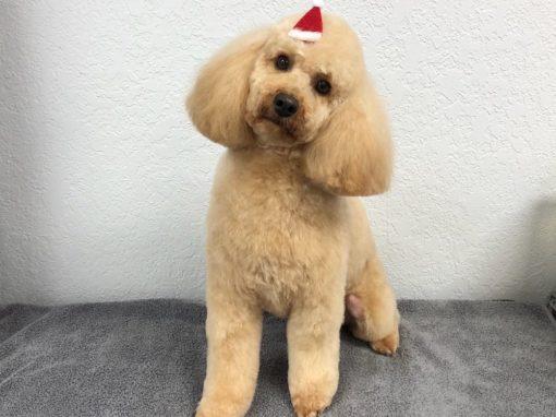 Mini Poodle Dog Groomer