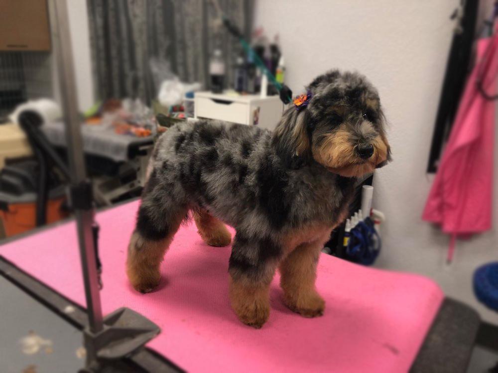 Aussie Doodle Dog Grooming