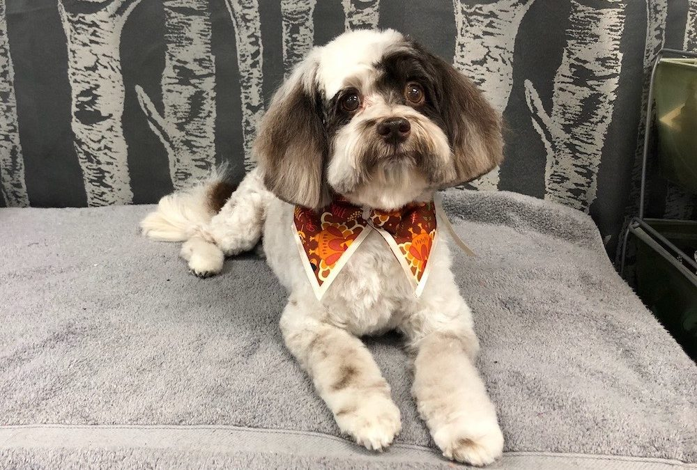 Havanese Dog Groomer